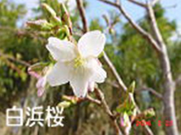 白浜桜の里
